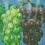 انگور داروخانه طبیعی اثر  دکتر یوهانا برانت