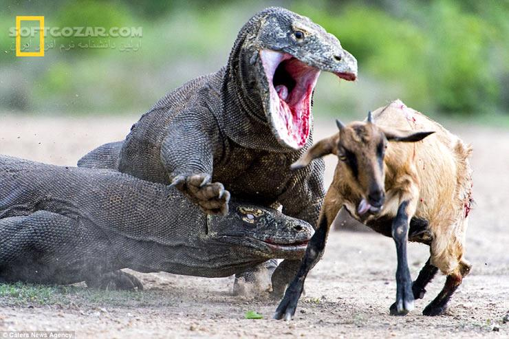 National Geographic Killer Dragons تصاویر نرم افزار  - سافت گذر