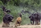 دانلود Lions the Best Hunters Ever! Wildlife Documentary