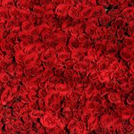دانلود Million Roses Songs - English + French + instrumental